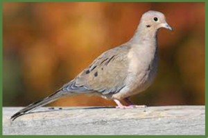 Ringneck Ranch Dove Hunts