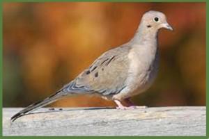 Ringneck Ranch Dove Hunts