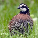 Bobwhite Quail Hunt Ringneck Ranch
