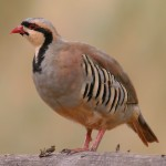 Chukar Hunt Ringneck Ranch