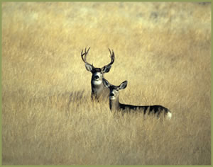 Big Game Archery Deer Hunts Kansas